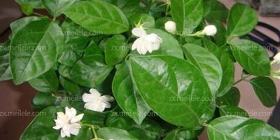 茉莉花的養殖方法,茉莉花的功效作用有哪些?