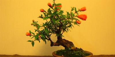 盆栽石榴花怎麼養?石榴花什麼時候開?