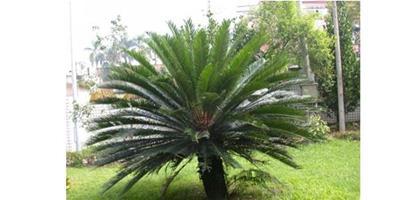 蘇鐵樹的養殖介紹