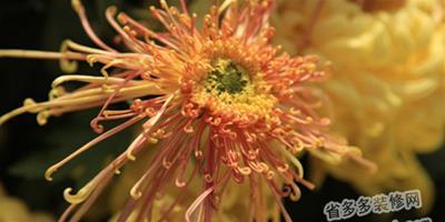 做好菊花冬季養護工作 讓它依然燦爛
