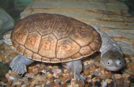 「長頸龜」的圖片搜尋結果